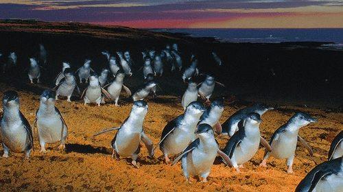 菲利浦島企鵝歸巢之旅