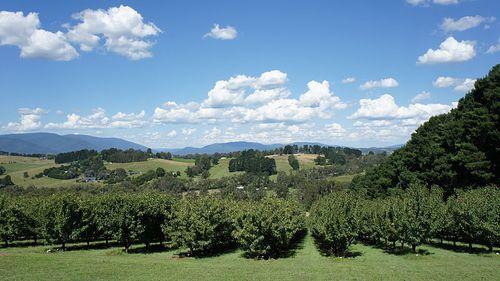 雅拉河谷的葡萄園風景