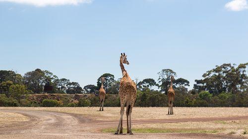 三隻長頸鹿站在空曠的草地上