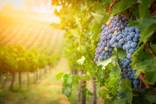 種植梅洛葡萄的葡萄園