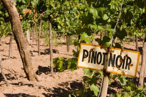 黑皮諾的標示插在葡萄園中